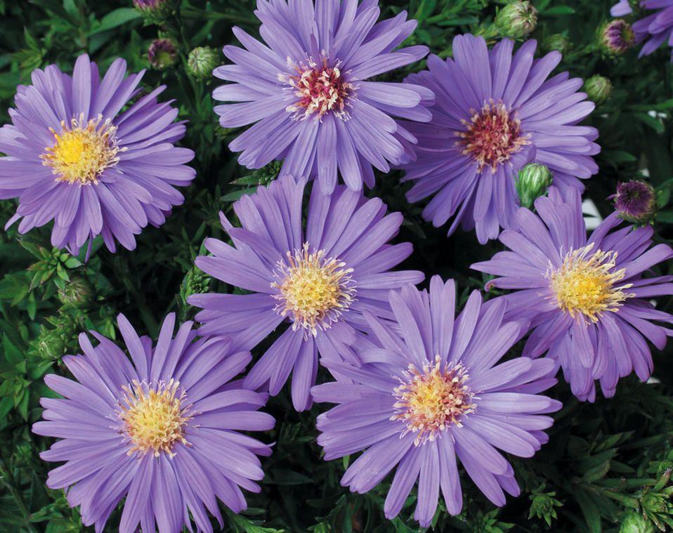 Sapphire Mist Aster Dumosus Proven Winners Fall Perennials Fall Flowers Garden Purple Perennials
