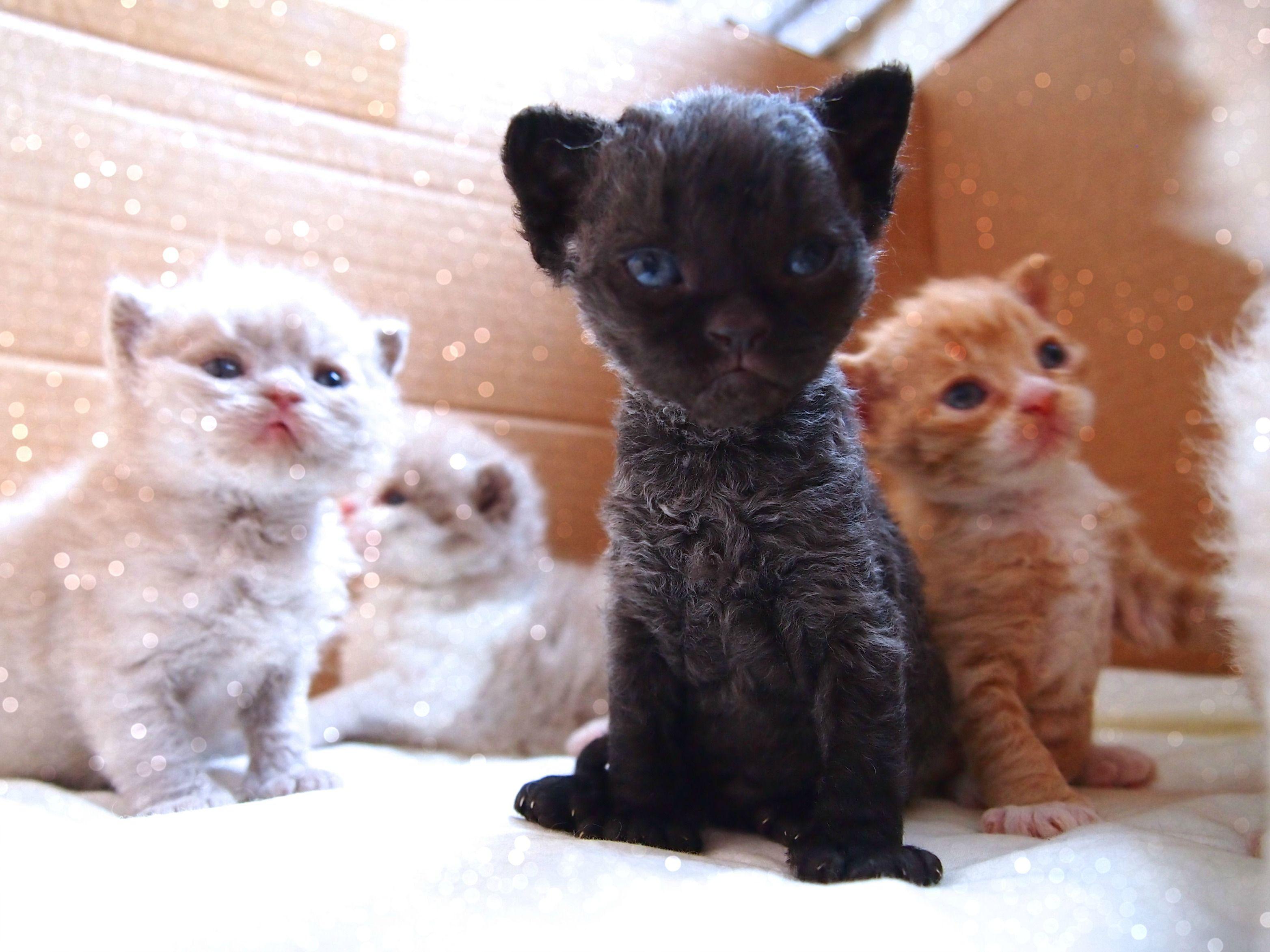 Curly Lamblike Selkirk Rex Kittens Selkirk rex, Cats and