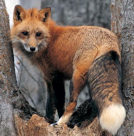 Look what is in my back yard. RED FOX SIGHTED IN NOVATO ...