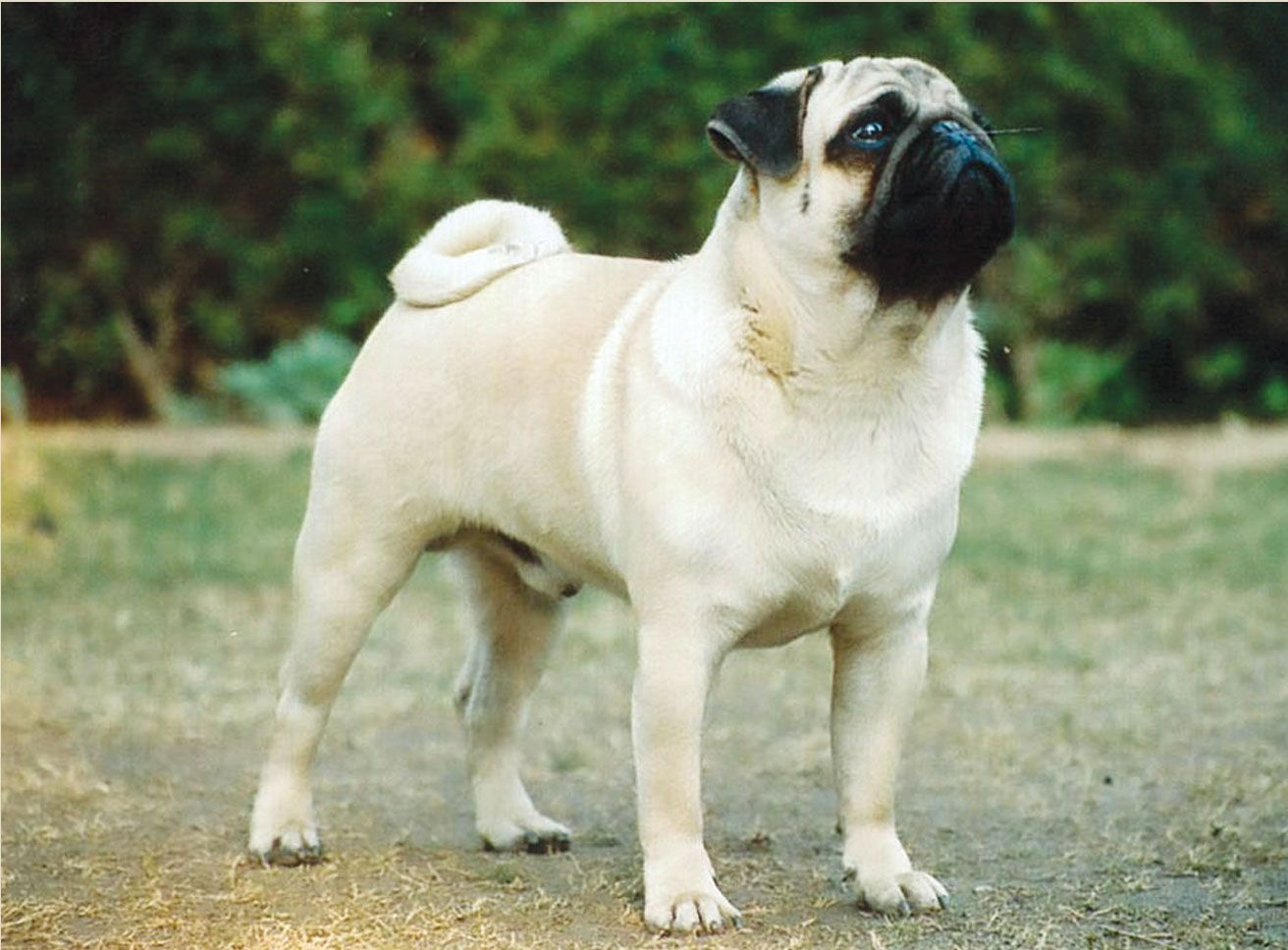 Pug Dog Hd Wallpapers Puppy Wallpaper Pug Dog Dog Wallpaper