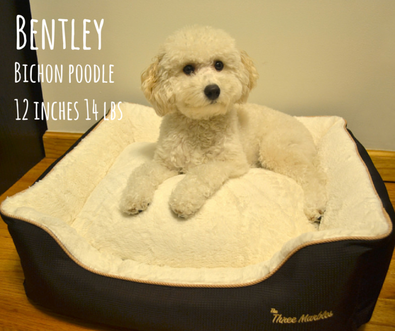 Bichon Poodle Bentley In The Bed That He Designed Luxury Pet Beds Dog Bed Luxury Pet Bed