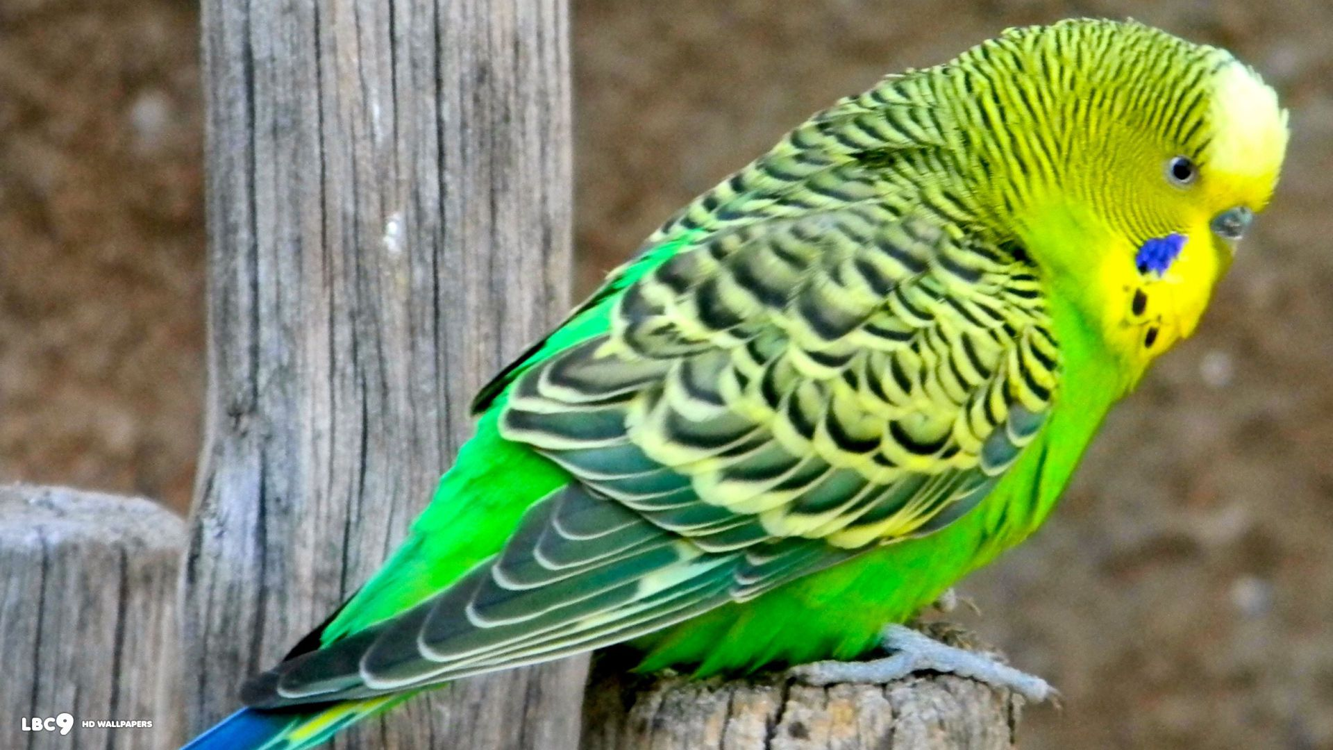 Birds Budgie Tropical Parrot Bird Parakeet Love Wallpapers 1024x768