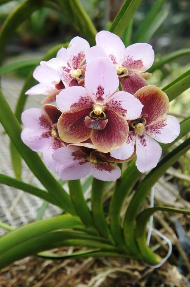 Pin By William Gibson On Flowers Beautiful Orchids Orchid Varieties Orchids