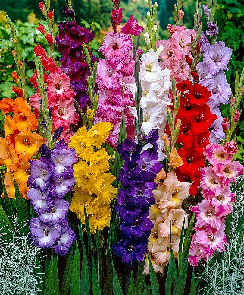Large Flowered Gladioli Mix Flower Bulbs From Bakker Spalding Garden Company Bulb Flowers Gladiolus Flower Gladiolus