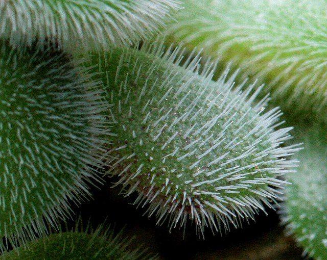 Раритет - редкие суккуленты Echeveria pulvinata