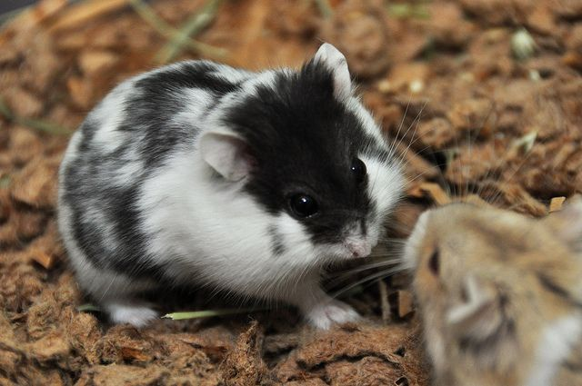 Dwarf Hamster Spotty Black White Funny Hamsters Cute Small