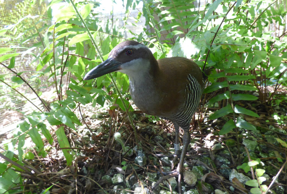 How did the Guam Rail come back from extinction in the
