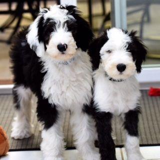 Sheepadoodle Puppies Sheepadoodles Sheepadoodle Puppy Cute Dogs Cute Animals