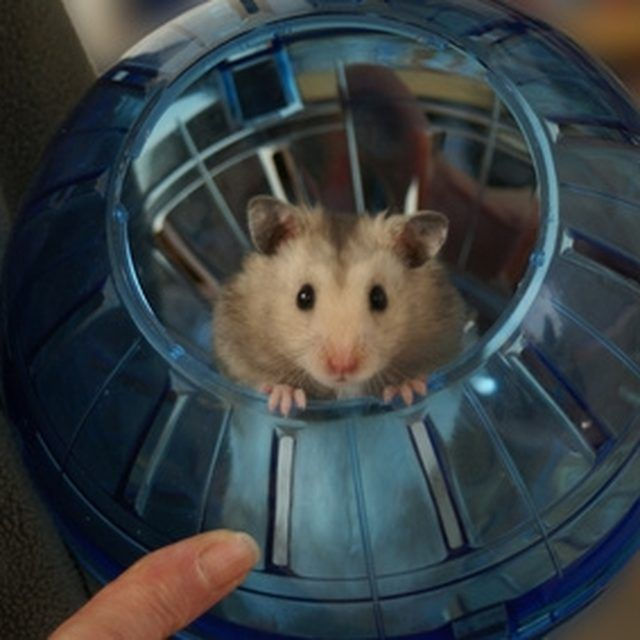 How to Train Your Hamster to Sleep at Night Bear hamster
