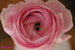 Ranunkel - ein Hauch von Rosa