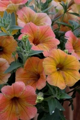 Petunia Indian Summer With Images Petunias Annual Flowers Flowers