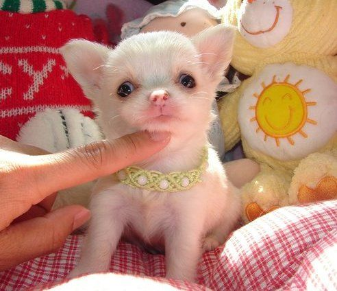 Tiny Adorable Healthy Chihuahuas Chihuahua Cute Animals Dogs