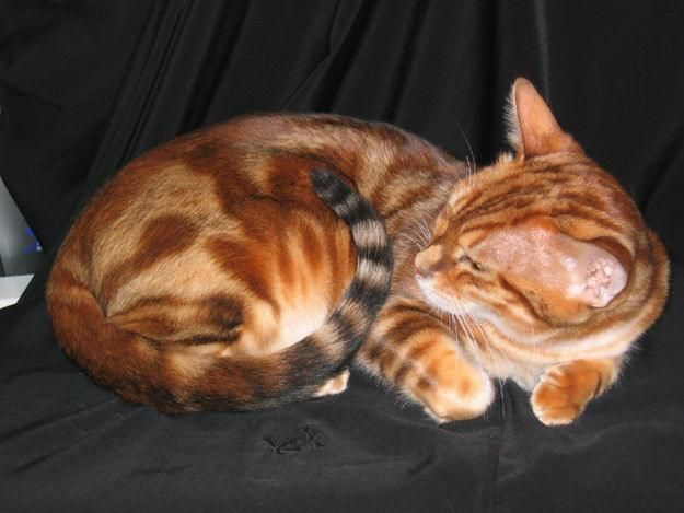 Orange Marbled Bengal Cat Bengal Cat Asian Leopard Cat Cats