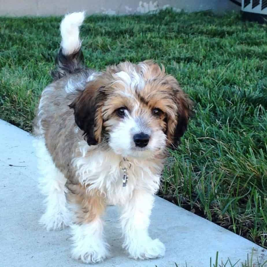 Poodle Beagle Mix Vet Reviews 3 Reasons To Avoid Doggypedia In 2020 Poodle Mix Breeds Maltese Poodle Beagle Mix