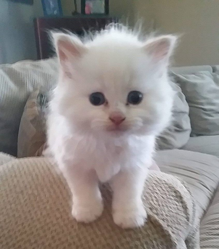 Fuzzy White Kitten So Cute Cute Cats And Kittens Kittens Cutest Pretty Cats