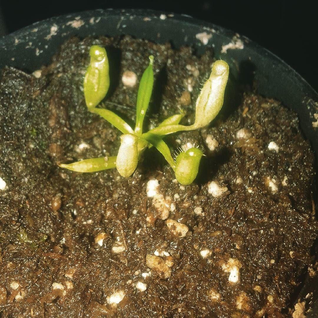 Una pequeña Nepenthes diatas rápido la logre que se acostumbrara a mi pecera #carnivorousplants #nepenthes #green by jorge_itachi