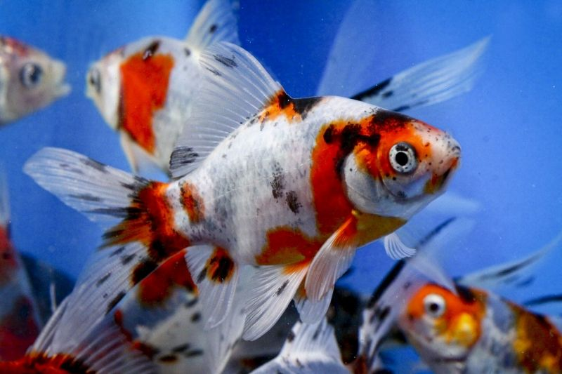 Wholesale butterfly koi goldfish blue ridge fish for Goldfisch und koi