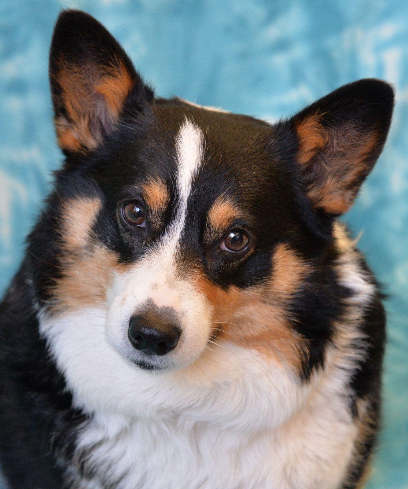 Pembroke Welsh Corgi Dog For Adoption In Eureka Ca Adn 454742 On
