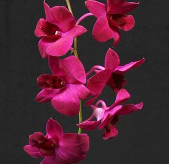 Buy Plum Purple Dendrobium Tropical Orchids For Sale