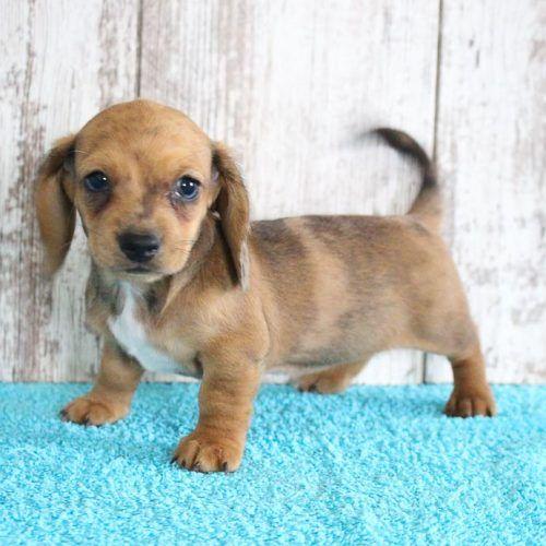 Delma Female AKC Dachshund pup for sale at Shipshewana