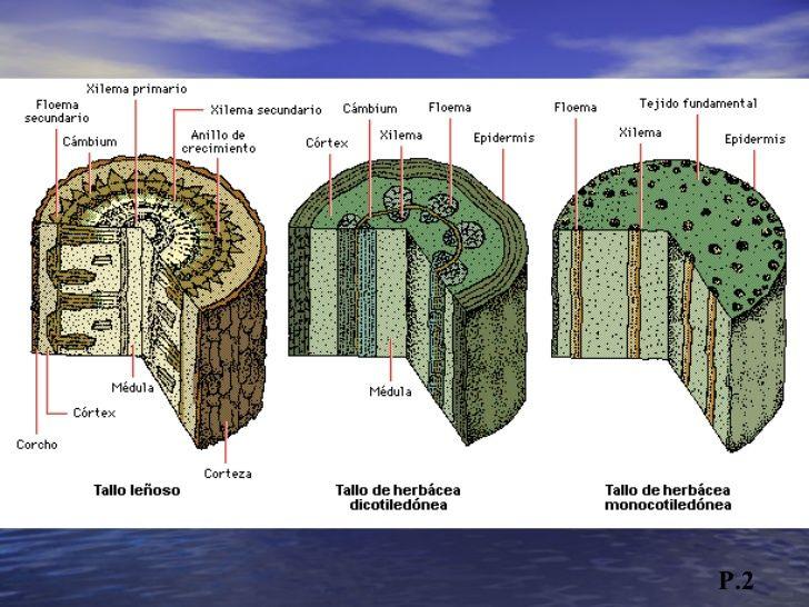 Tejidos Suberosos , tejidos protectores secundarios P.6 <ul><li>Los ...