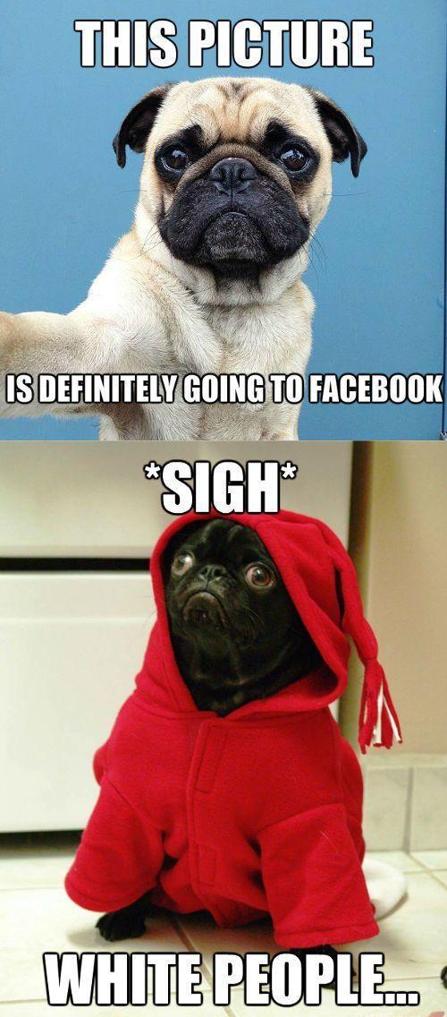 Pugs Memes Google Search Pug Memes Pugs Funny Pugs