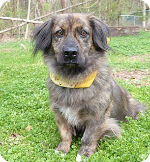 Mocksville Nc Corgi Spaniel Unknown Type Mix Meet Rusty A Dog For Adoption Http Www Adoptapet Com Pet 17584984 Mocksville North Corgi Mix Corgi Pets