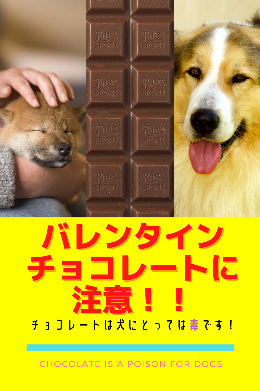 バレンタインチョコレートに注意 チョコレートは犬にとっては毒です 2021 犬 ドッグフード テオブロミン