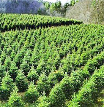 Working At The Tree Farm Christmas Tree Farm Christmas Farm Tree Farms