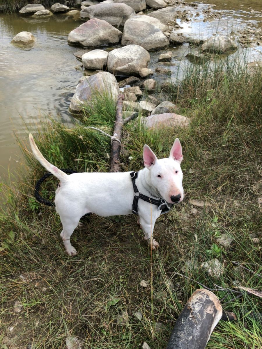 Miniature Bull Terrier in Three Hills creek, Alberta