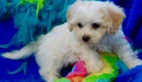 Cavachon Breeders Puppies For Sale In Iowa Century Farm Puppies Puppies Cavachon Pets For Sale