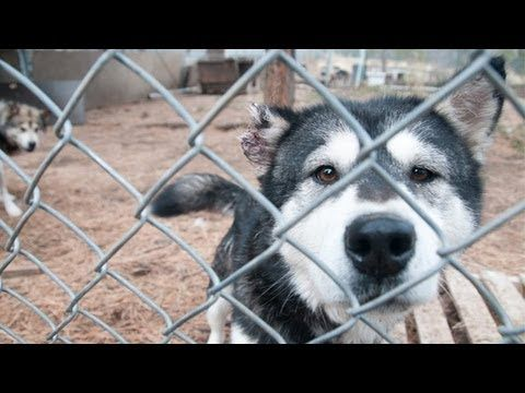 There Are Still Puppy Mills Around There Instead Of Buying A Pet Adopt A Rescue Malamute Operation Montana Malamute Malamute Malamute Dog Alaskan Malamute