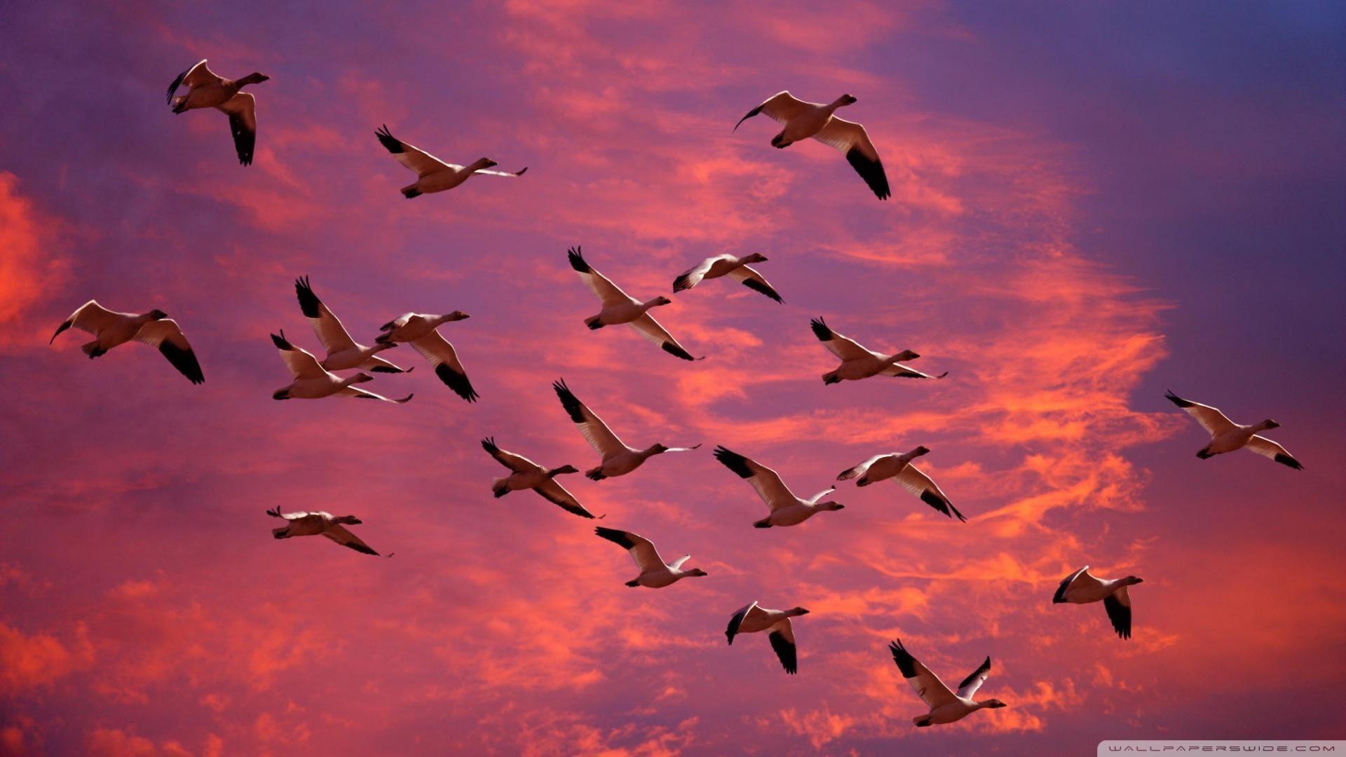 Kırmızı gökyüzünde göç kar kazlar Göçmen kuşlar