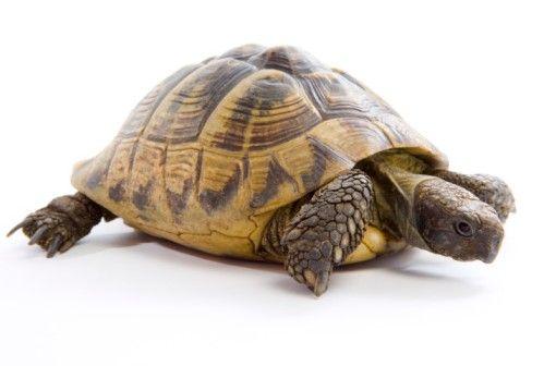 Il letargo della tartaruga di terra turtle foto sfondo for Tartarughe di terra letargo