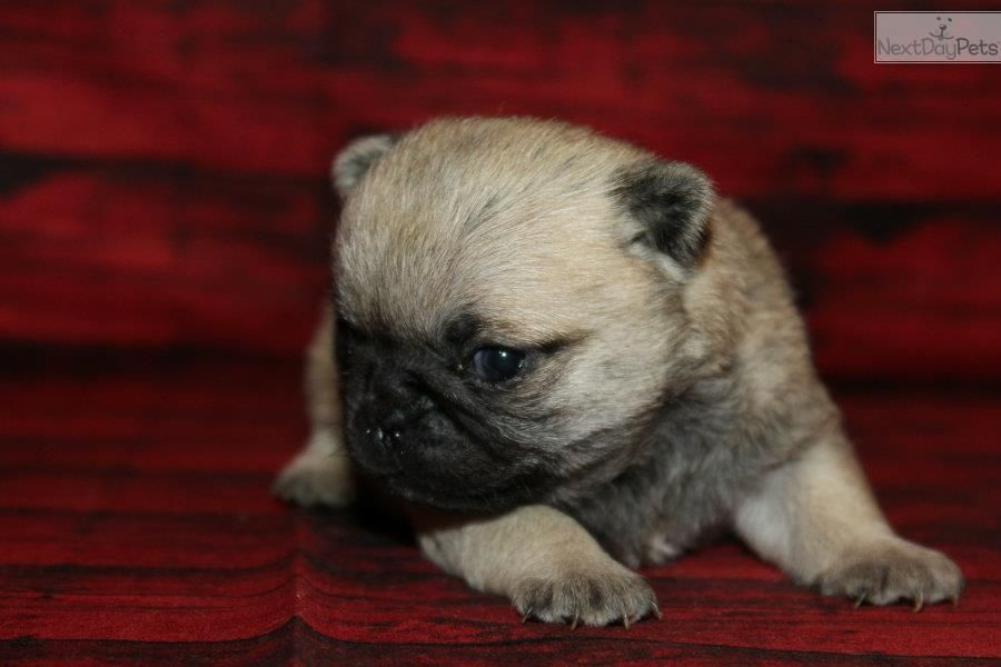 Tiny Gorgeous Healthy Socialize Pugs Pugs For Sale Pug Puppies For Sale Pugs