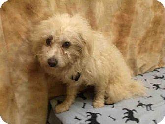 Upper Marlboro Md Wheaten Terrier Mix Meet Stevie A Dog For
