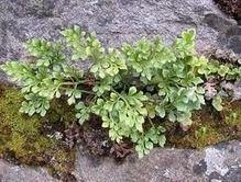 Ruda de los muros ayuda a calmar la tos Hierbas medicinales