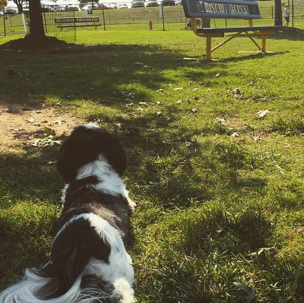 On the lookout for squirrels! - Biscuit Acres Dog Park - Tulsa, OK - Angus Off-Leash