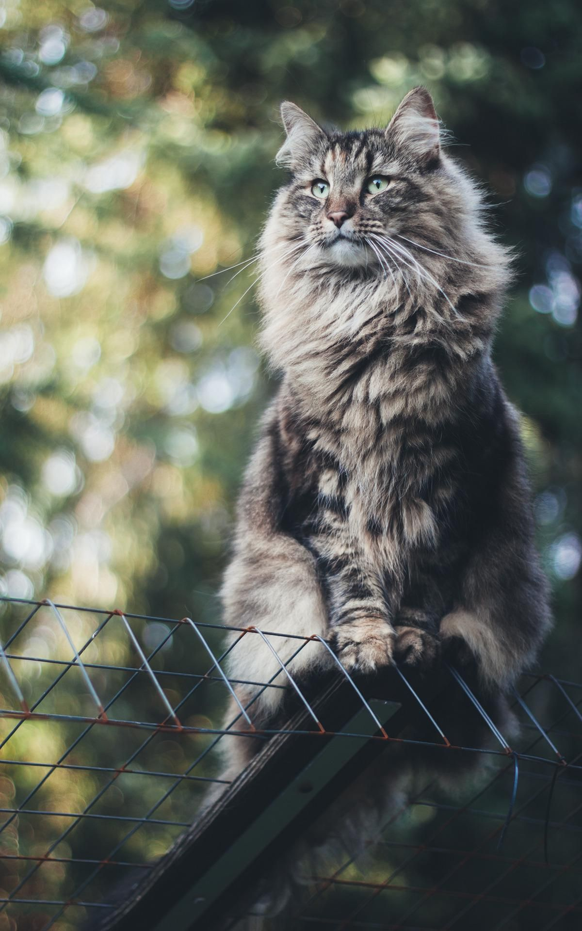 Since you guys enjoy norwegian forest cats ( Music