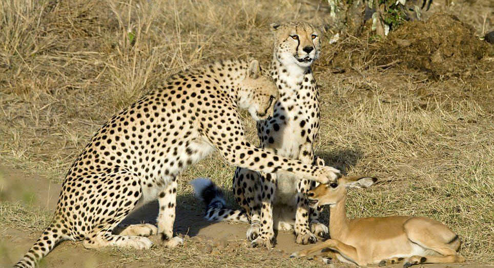 Cheetas playing with an antelope, something which will be common in the new system.  Looking forward to that day.