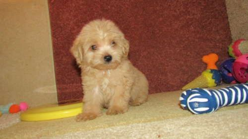 Maltese Poodle Toy Mix Puppy For Sale In Tucson Az Adn 45688
