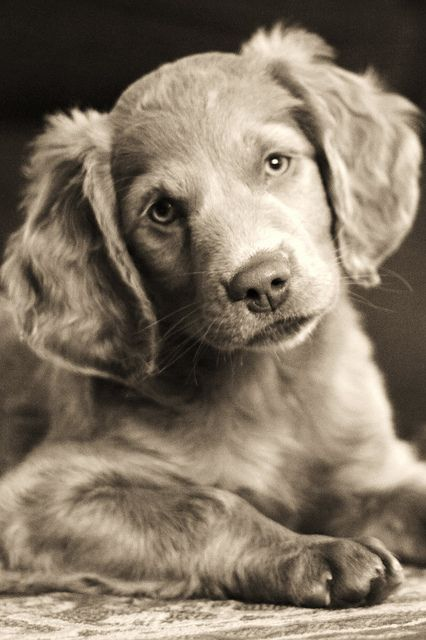 Long Haired Weimaraner Puppy With Images Weimaraner Puppies