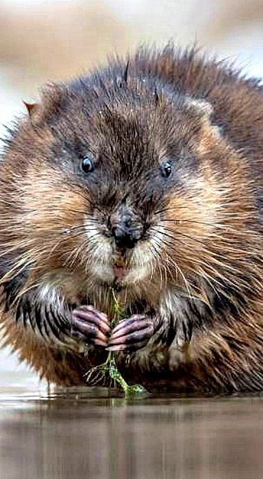 Photo Muskrat Caught In The Act Animals Wild Animal Planet North American Wildlife