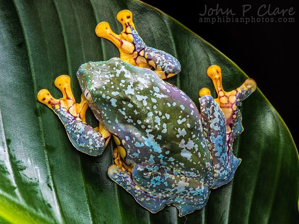 Fringed leaf frog (Cruziohyla craspedopus) This species occurs in ...