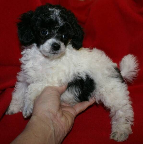 Micro Teacup Poodle Puppies Toy Poodles For Sale Poodle Puppies For Sale Poodle Dog