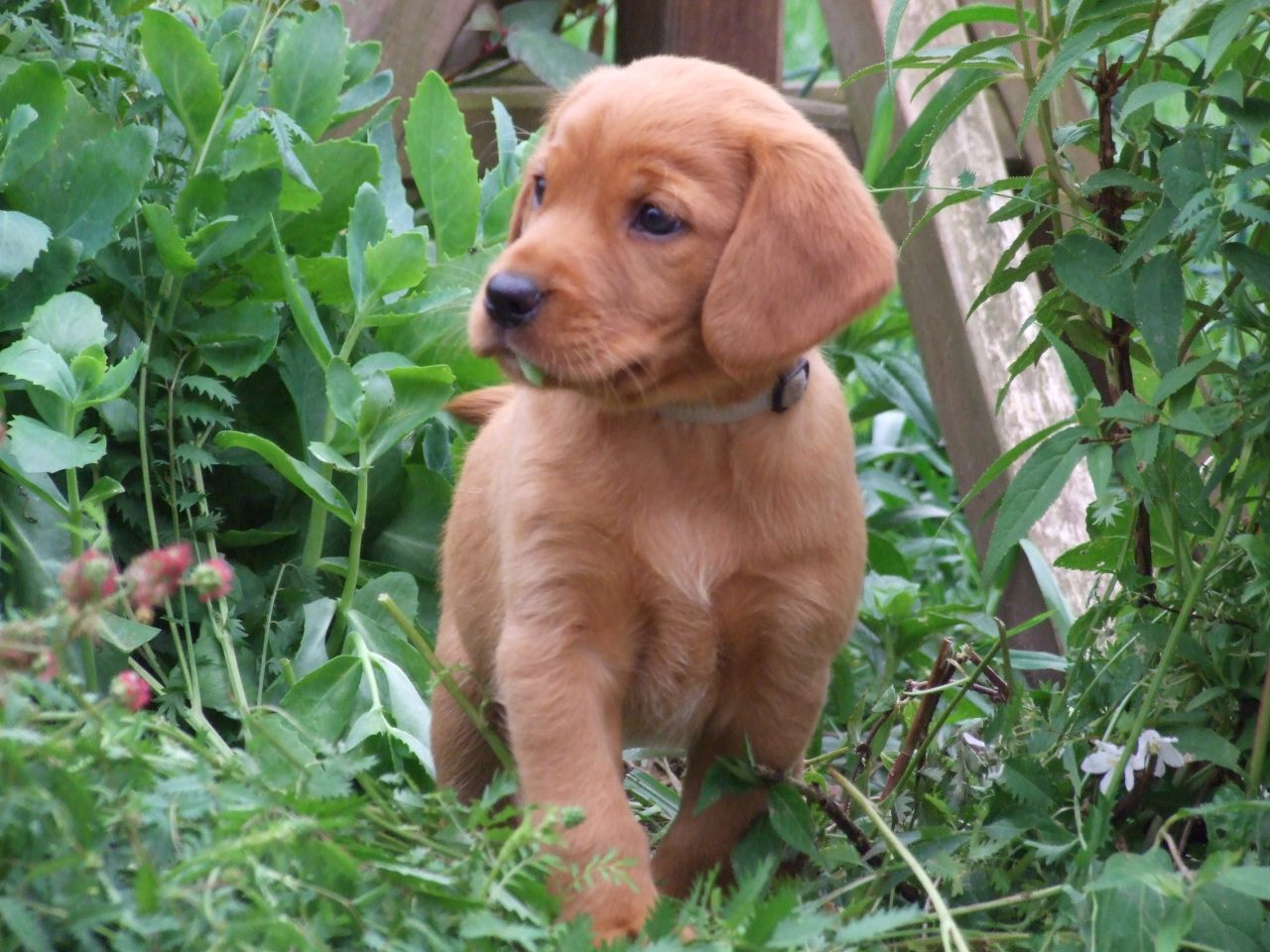 Fox Red Labrador Retriever Puppies Fox Red Labrador Spaniel
