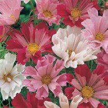 Shopretty Com Flower Seeds Cosmos Flowers Flowers