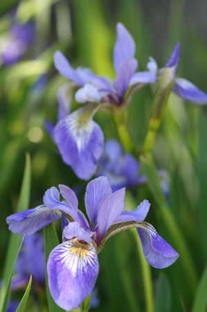 Iris Versicolor Blue Flag Iris From Aquascapes Unlimited Inc Blue Flag Iris Iris Versicolor Pond Plants