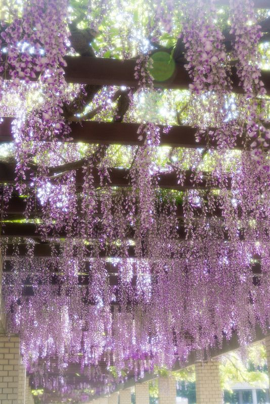 Wisteria At Jindai Botanical Gardens Tokyo Botanical Gardens Beautiful Gardens Amazing Flowers