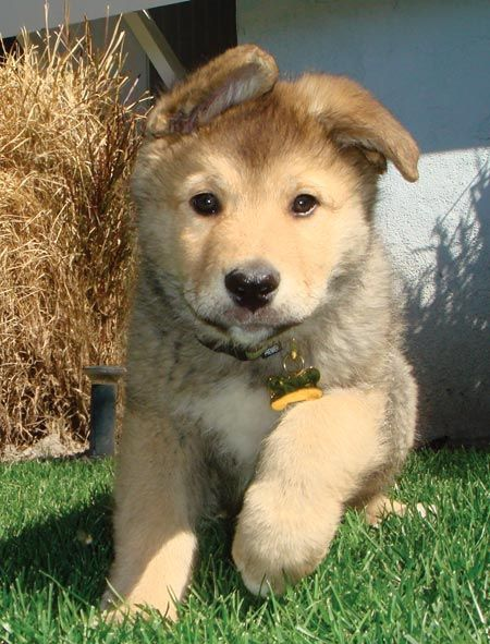 Husky Golden Retriever Mix Ben The Australian Shepherd Husky